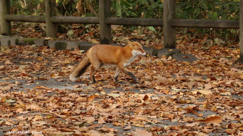 旭川市神楽岡公園で見かけたキツネ