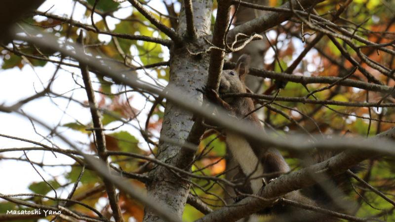 旭川市神楽岡公園に生息しているリス