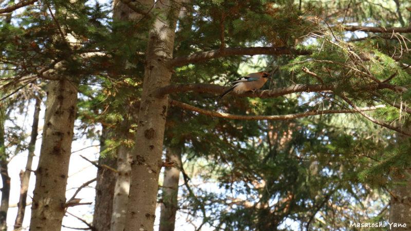 旭川市神楽岡公園に生息している野鳥