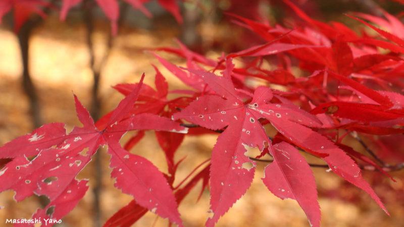 旭川市神楽岡公園の紅葉