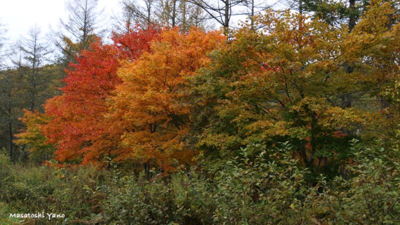 青い池周辺の紅葉