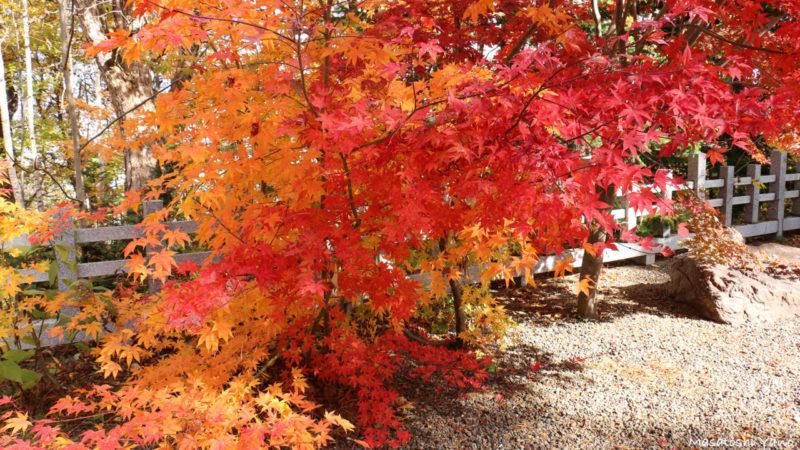 上川神社の紅葉