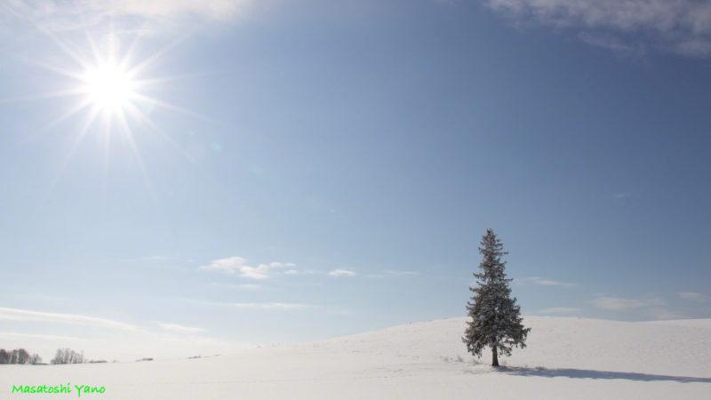 北海道美瑛町にあるクリスマスツリーの木