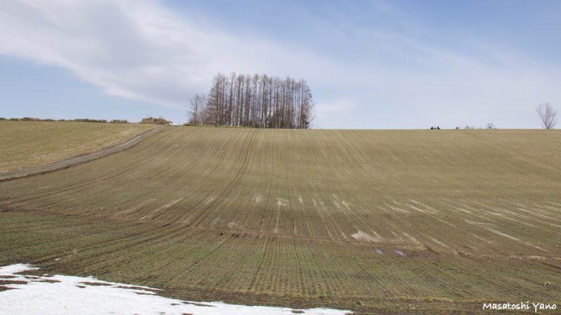 美瑛の丘、秋まき小麦の新芽がキレイに並んでいる写真