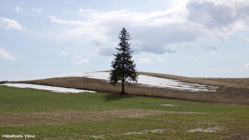 美瑛町にあるクリスマスツリーの木。春に撮影