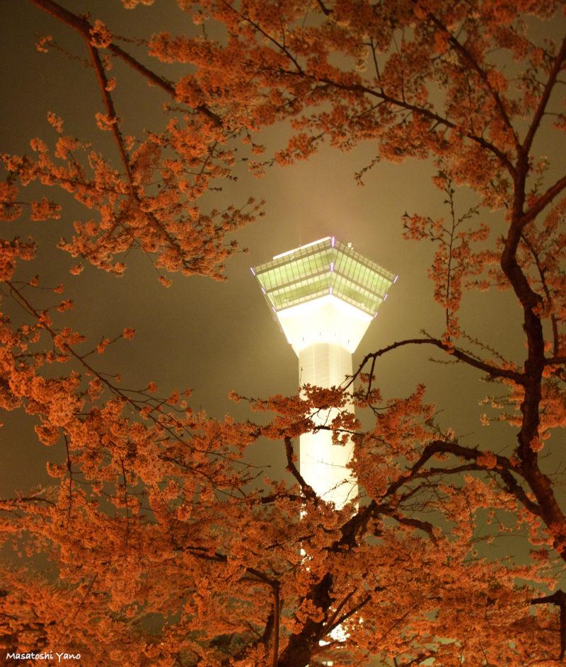函館五稜郭公園から五稜郭タワーと桜の写真