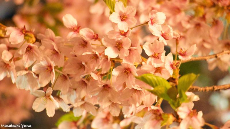 函館五稜郭公園の夜桜