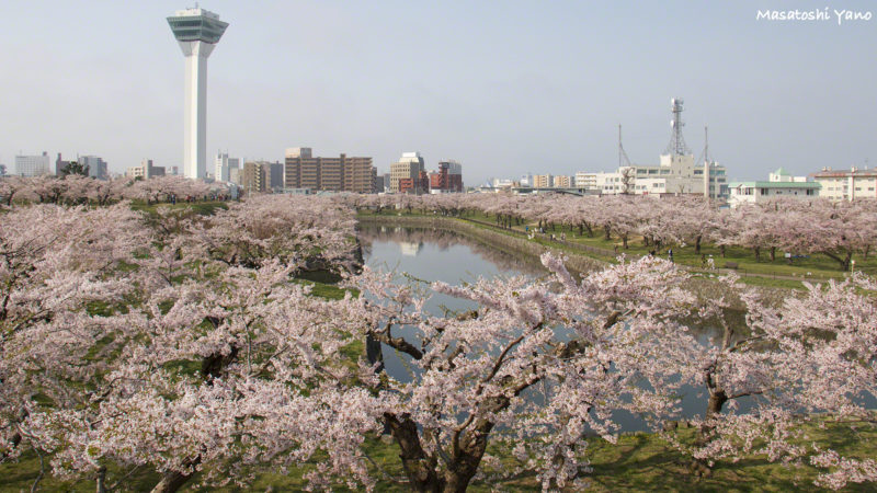 函館の五稜郭公園に咲く桜
