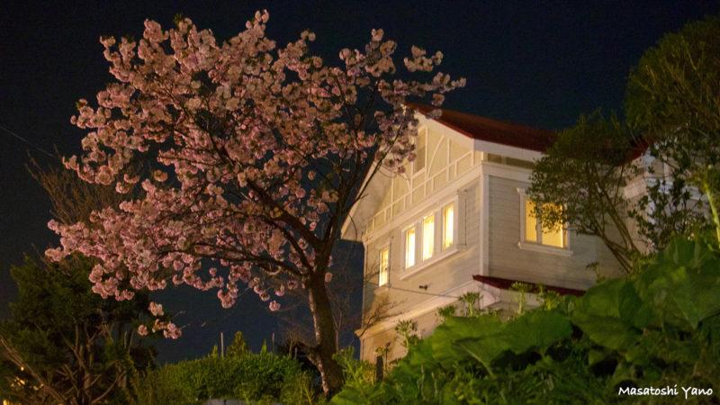函館市内の桜