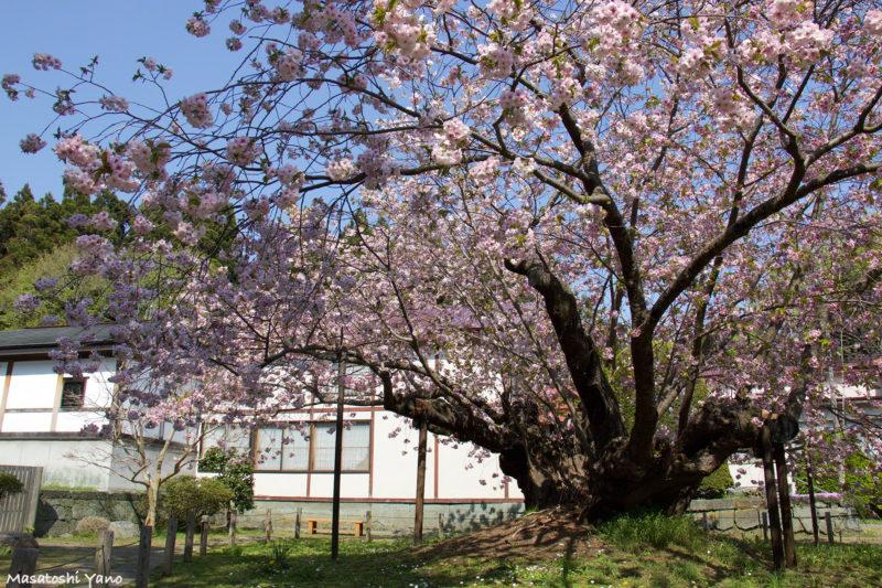松前城の光善寺境内にある血脈桜