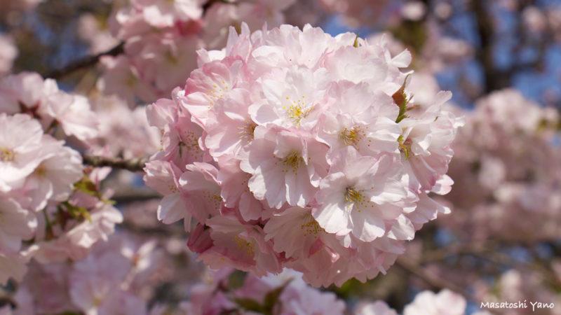 松前町、桜見本園にある南殿という桜
