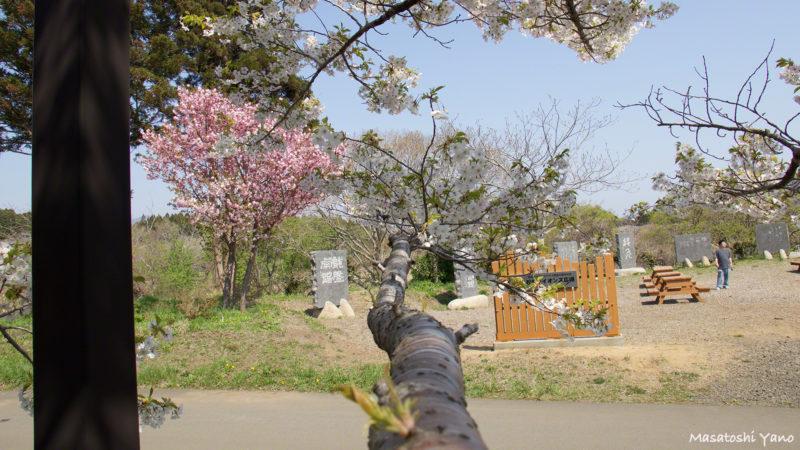 松前町、桜見本園にある雨宿りという桜