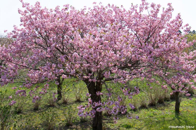 松前町、桜見本園にある関山という桜