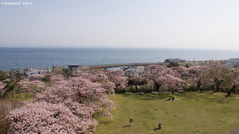 松前城から見た桜の景色