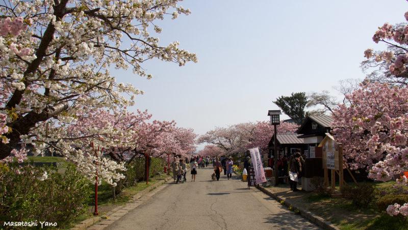 北海道の松前城の桜