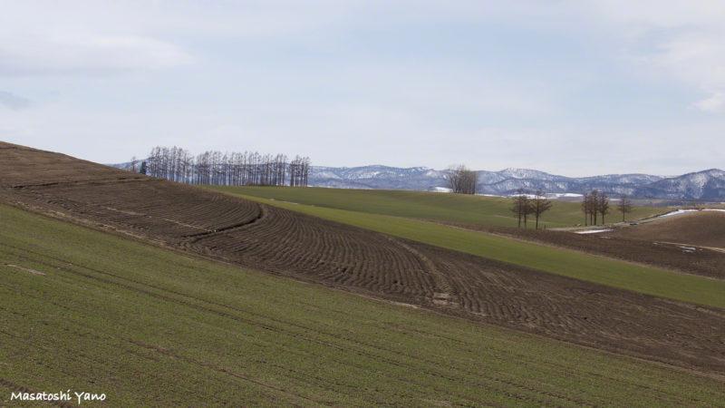 美瑛のマイルドセブンの丘付近。春に撮影したので緑と茶色のパッチワークの丘です