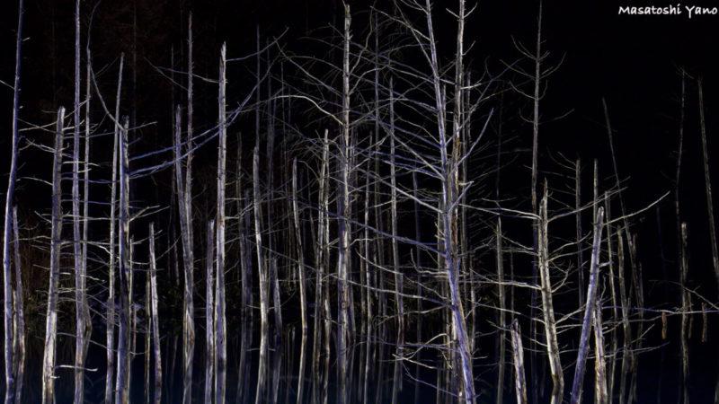 ライトアップされた北海道美瑛町の青い池の木々。