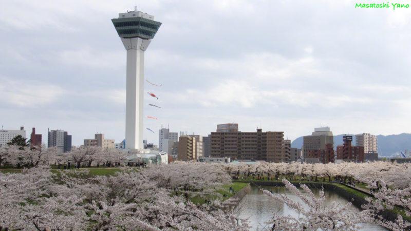 五稜郭タワーの鯉のぼりと桜