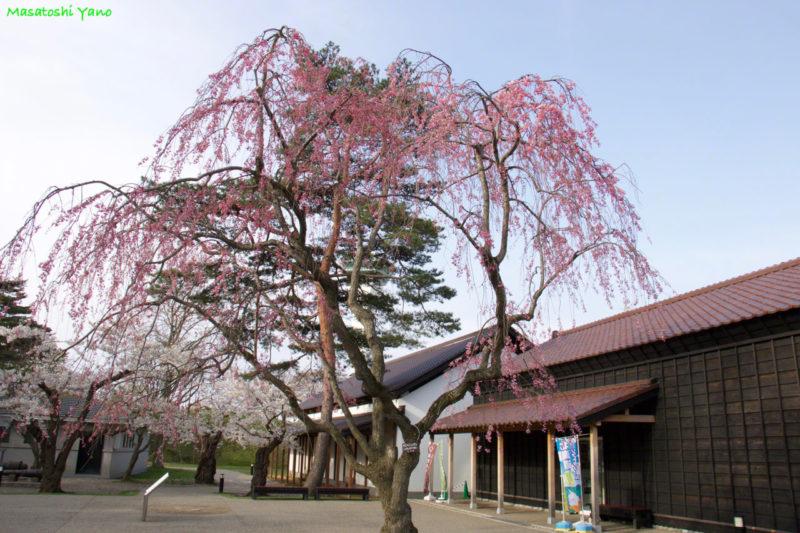 五稜郭公園のしだれ桜