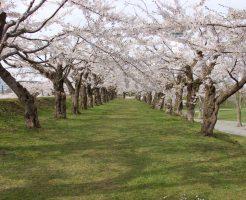 五稜郭公園の桜並木