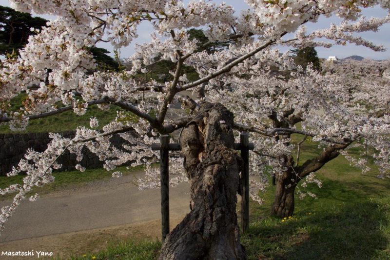五稜郭公園の個性的な桜の木