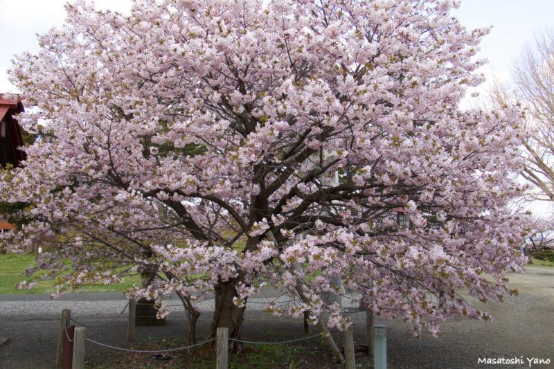 松前公園、王道な桜の木