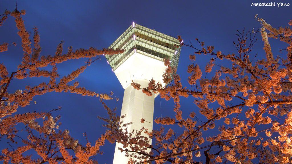 五稜郭公園の桜のライトアップ〜函館のみなさんかまってくれてありがとう〜