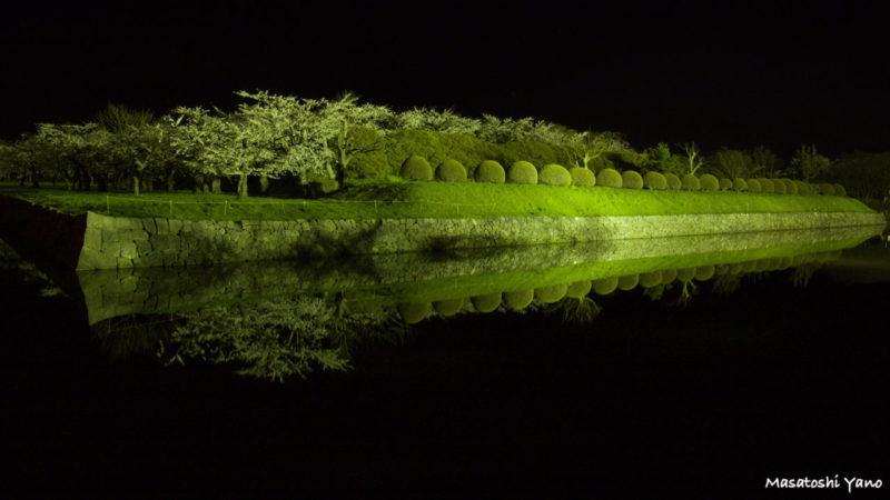 函館の五稜郭公園でライトアップされた桜と植木