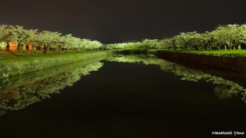 函館の五稜郭公園でライトアップされた桜