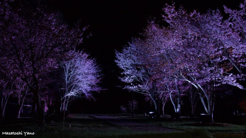 美瑛町、憩ヶ森公園の桜のライトアップ