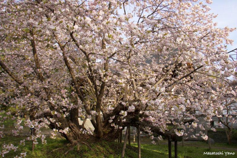 早朝に撮影した血脈桜