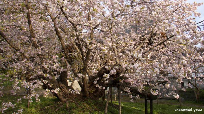 早朝に撮影した松前町の血脈桜