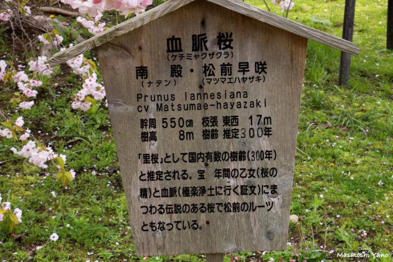 血脈桜の看板