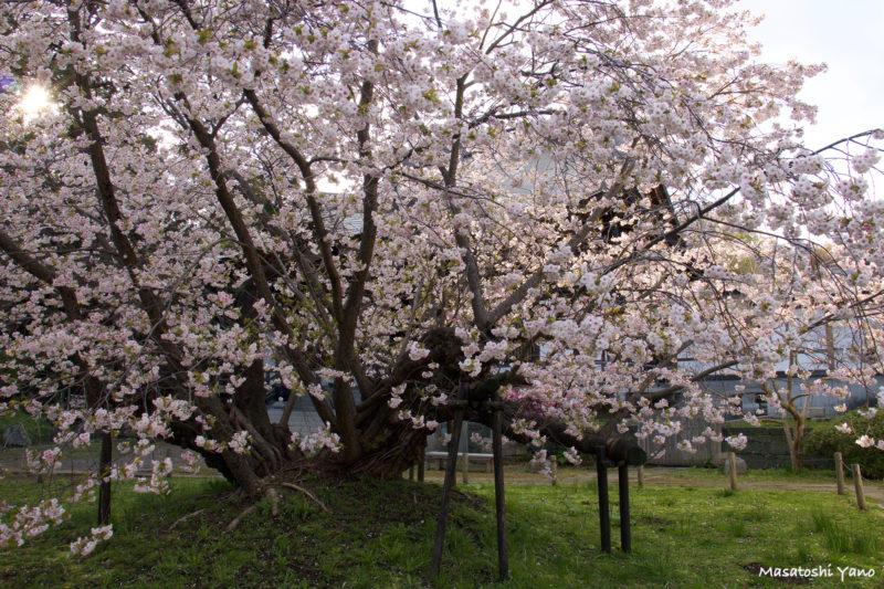 夕方の血脈桜