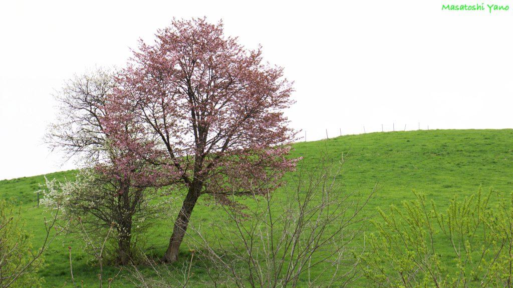 恋人の木〜美瑛にある名木の中で1番見つけにくくて1番ロマンチックな木〜