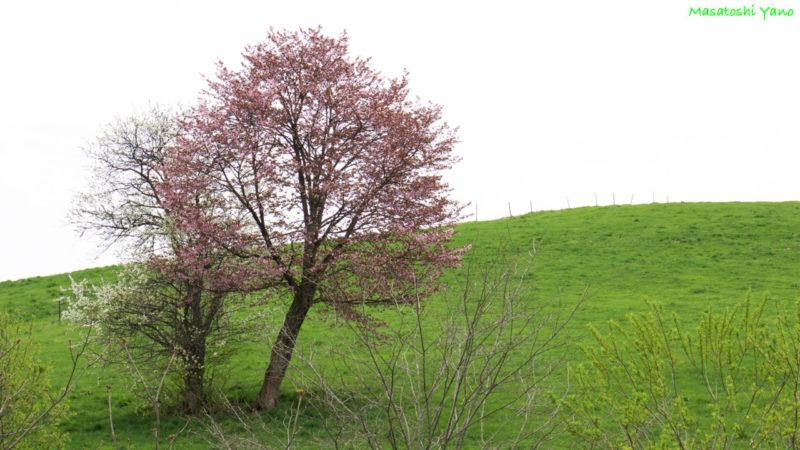 美瑛町にある恋人の木