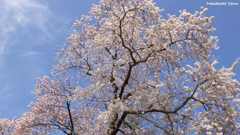 松前公園にある夫婦桜