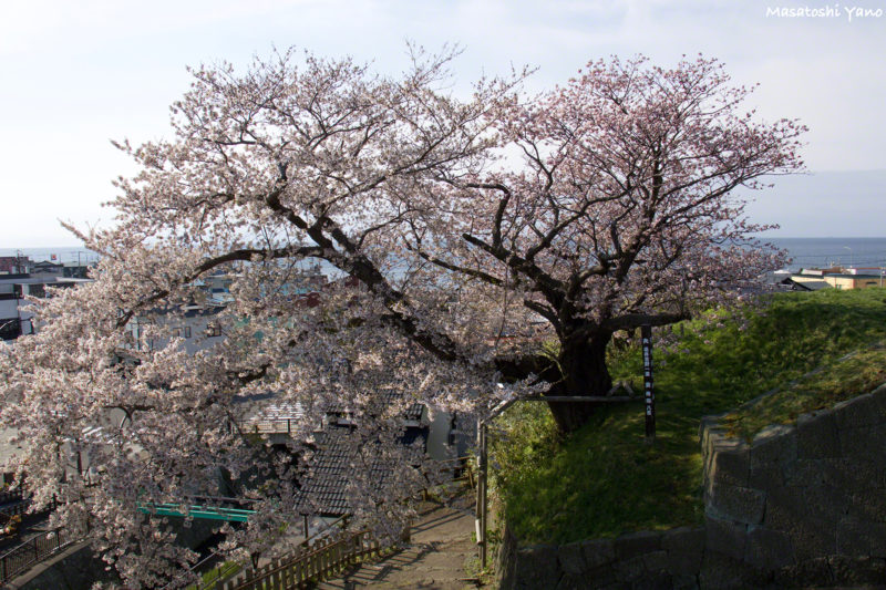 松前公園の夫婦桜