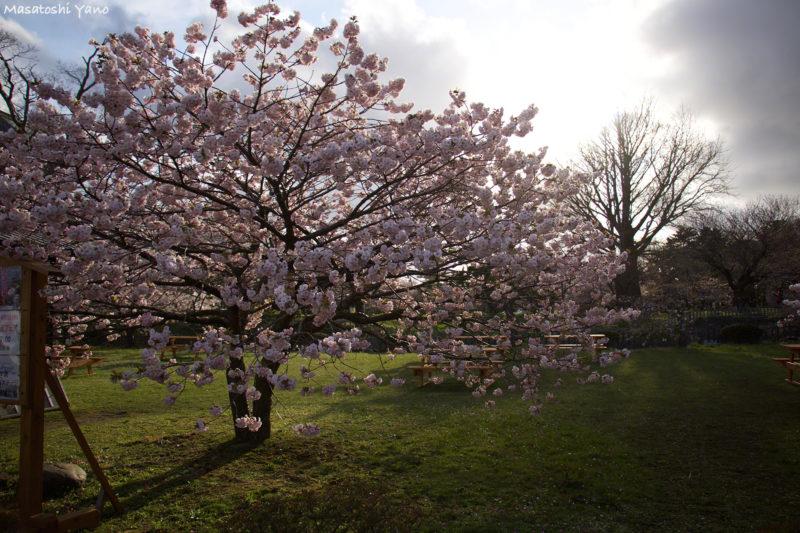 夕日と松前公園の桜
