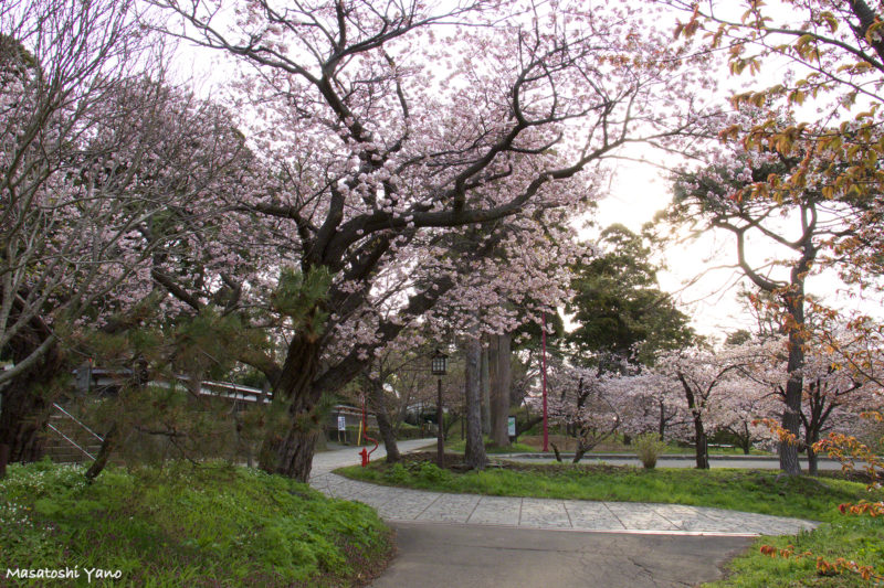 早朝の松前公園の桜