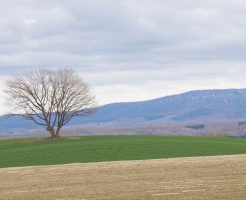 美瑛の春の丘