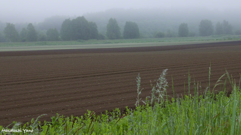 美瑛町の畑、朝露