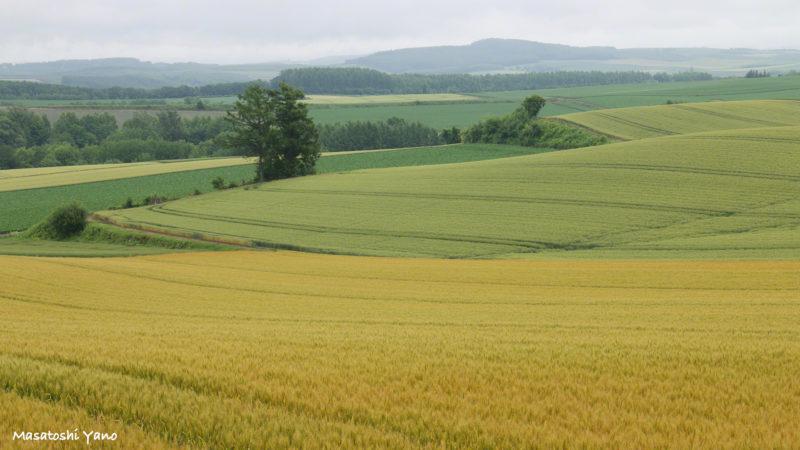黄色く色づいた秋まき小麦と美瑛の丘