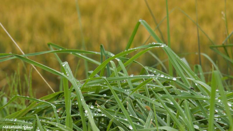 草むらと水滴