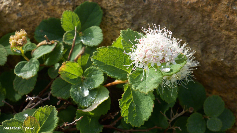 十勝岳の望岳台付近に生息する高山植物