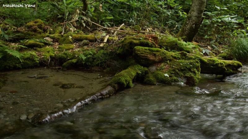 不動の滝のコケ