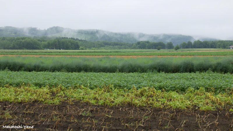 大雨がくる直前の青い池の周辺の畑