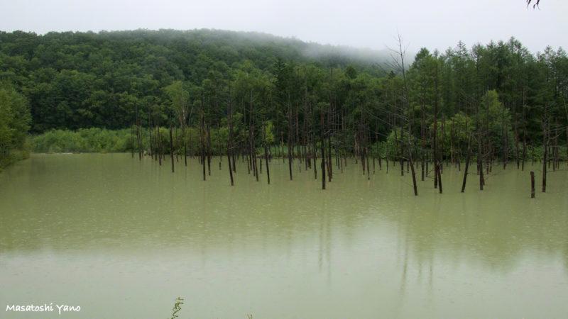 茶色くなってしまった青い池