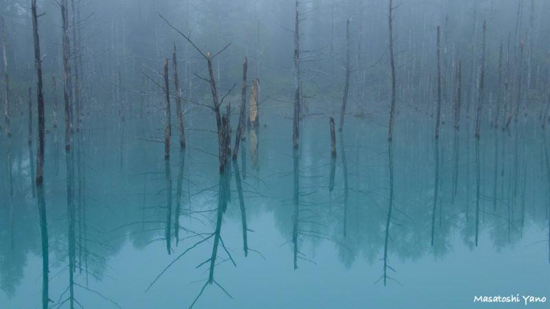 復旧した青い池、折れた幹がむき出しの一枚
