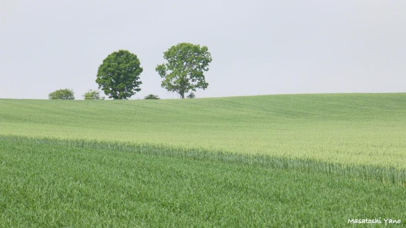 初夏の親子の木